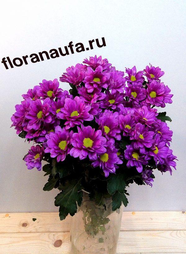 Хризантема кустовая Гранд Пинк