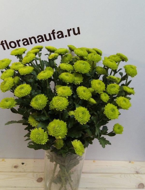 Хризантема Филин грин